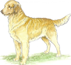 Belle, Tweedmouth Water Spaniel as depicted by Marcia Schlehr