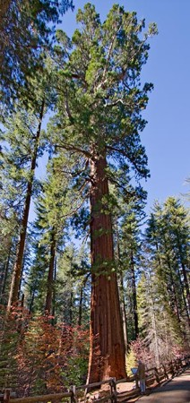 Giant-Sequoia